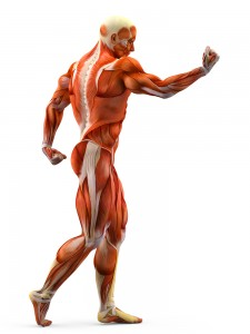 Disegno dei muscoli del corpo umano